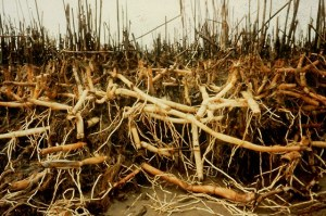 Root_and_Rhizome_meshwork_of_reed